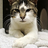 Domestic Shorthair Cat for adoption in Brooklyn, New York - River