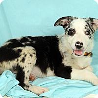 Adopt A Pet :: Nevada BC - St. Louis, MO