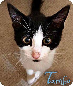 American Shorthair Kitten for adoption in Roanoke, Virginia - Tambo
