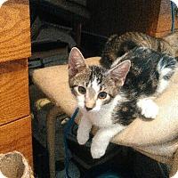 Adopt A Pet :: Sofee - Glen cove, NY