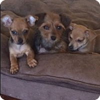 Adopt A Pet :: Sadie (courtesy listing) - Bartonsville, PA