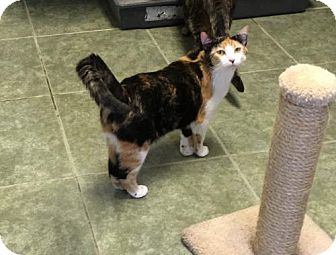 Domestic Shorthair Cat for adoption in Ada, Oklahoma - Allie