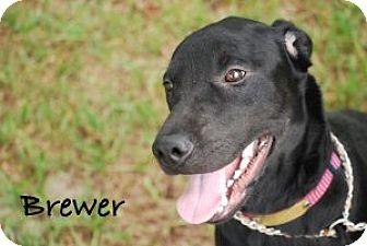 Labrador Retriever/Labrador Retriever Mix Dog for adoption in Minneola, Florida - Brewer