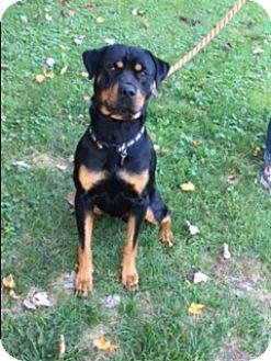 Rottweiler Dog for adoption in Averill Park, New York - TANK