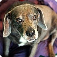 Labrador Retriever Mix Dog for adoption in McKinney, Texas - Sammy