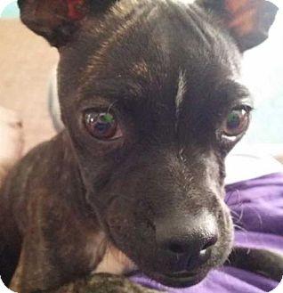 Boston Terrier Mix Puppy for adoption in Boston, Massachusetts - Galena