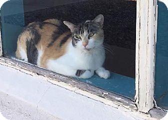 Domestic Shorthair Cat for adoption in Scottsdale, Arizona - Tiger2