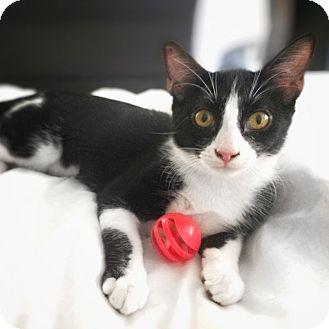 Domestic Shorthair Kitten for adoption in Arlington/Ft Worth, Texas - Harley