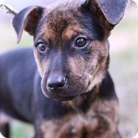Adopt A Pet :: Belle - Monroe, NC