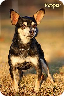 Chihuahua/Manchester Terrier Mix Dog for adoption in Wilmington, Delaware - Pepper