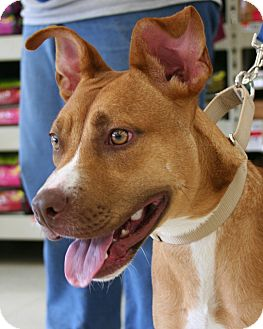 Terrier (Unknown Type, Medium)/Boxer Mix Dog for adoption in North Olmsted, Ohio - Sparrow
