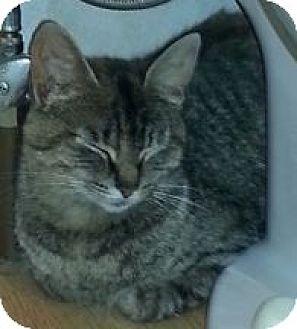 Domestic Shorthair Cat for adoption in Columbus, Ohio - Momma Mia