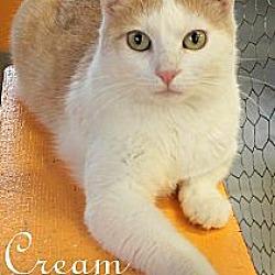 Photo 2 - Domestic Shorthair Cat for adoption in St Louis, Missouri - Cream