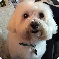 Adopt A Pet :: Louie - Santa Monica, CA