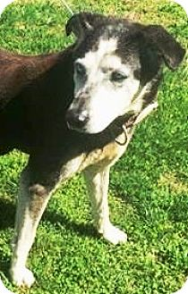 Husky/Labrador Retriever Mix Dog for adoption in Charlottesville, Virginia - Sally