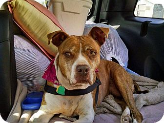 Pit Bull Terrier Mix Dog for adoption in Overland Park, Kansas - Roxie