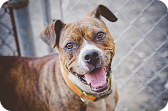 Boxer Mix Dog for adoption in East McKeesport, Pennsylvania - Scarlet