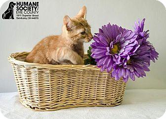 Domestic Mediumhair Kitten for adoption in Sandusky, Ohio - TINY