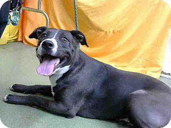 Pit Bull Terrier Mix Dog for adoption in San Bernardino, California - URGENT 10/1 @ DEVORE