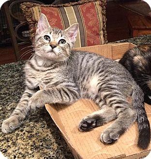 American Shorthair Kitten for adoption in Metairie, Louisiana - Daniel