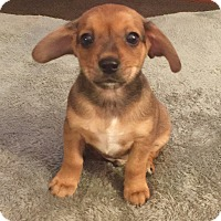 Jack Russell Terrier/Chihuahua Mix Puppy for adoption in Garden City, Michigan - Teek - Pending Adoption