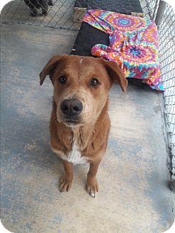 Shepherd (Unknown Type) Mix Dog for adoption in san antonio, Texas - gilley