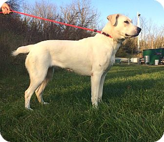 Labrador Retriever Mix Dog for adoption in Lafayette, New Jersey - Scarlett
