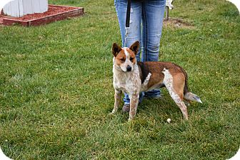Australian Cattle Dog Mix Dog for adoption in North Judson, Indiana - Crawford