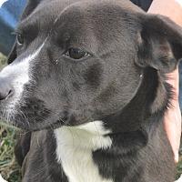 Adopt A Pet :: Bojangles - Germantown, MD