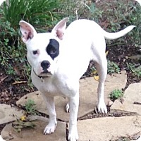 Adopt A Pet :: Starla - Dallas, TX
