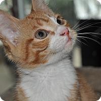 Adopt A Pet :: Pete - La Canada Flintridge, CA