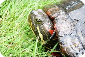 Turtle - Water for adoption in Richmond, British Columbia - June