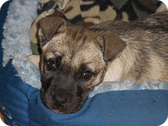 German Shepherd Dog Mix Puppy for adoption in Torrance, California - ANNIE