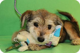 Terrier (Unknown Type, Small)/Wheaten Terrier Mix Puppy for adoption in Broomfield, Colorado - Carla