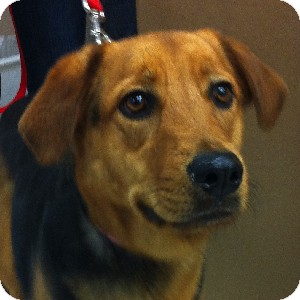 German Shepherd Dog Mix Dog for adoption in Gilbert, Arizona - Kate
