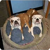 Adopt A Pet :: Bigs*adoption pending* - Gilbert, AZ