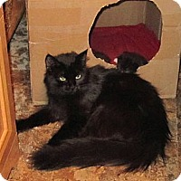 Domestic Mediumhair Cat for adoption in Copperas Cove, Texas - Jewels