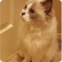 Adopt A Pet :: Bebe - Gilbert, AZ