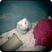 Adopt A Pet :: Snowball - Bensalem, PA