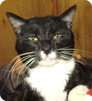 Domestic Shorthair Cat for adoption in Reeds Spring, Missouri - Checkers