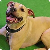 Adopt A Pet :: Priscilla - Minneapolis, MN