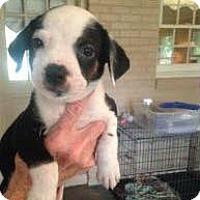 Adopt A Pet :: Yankee Doodle - Barnegat, NJ