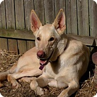 German Shepherd Dog Dog for adoption in Hooksett, New Hampshire - Chance (WI)