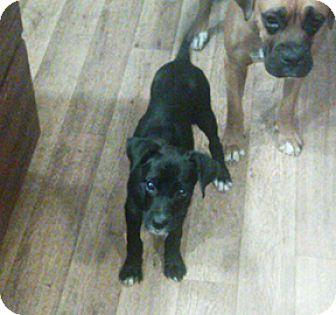 Boxer Dog for adoption in Wilmington, North Carolina - Kalesi