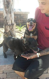 Terrier (Unknown Type, Small)/Miniature Pinscher Mix Dog for adoption in El Cajon, California - Toomie