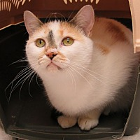 Domestic Shorthair Cat for adoption in Wheaton, Illinois - Grace