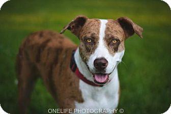 Catahoula Leopard Dog Mix Dog for adoption in Lake Jackson, Texas - Callie