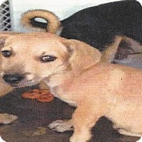 Terrier (Unknown Type, Medium)/Chihuahua Mix Dog for adoption in Longview, Washington - PIXIE