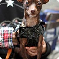 Adopt A Pet :: Sofia Loren! *Adoption Pending!* - New York, NY