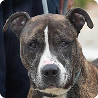 American Pit Bull Terrier Mix Dog for adoption in New Haven, Connecticut - TAZ